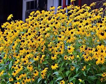 Black Eye Susan Flower Essence