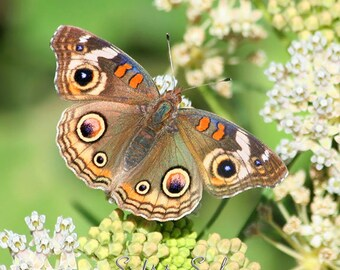 Brown Butterfly Photo, nature photography, Common Buckeye butterfly wall art, green, white flowers, country decor, fine art print