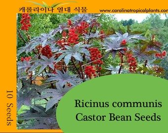 Castor Bean Seeds - 10 Seed Count
