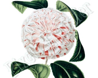 CAMELLIA Instant Download Wedding Clipart digital collage sheet white pink flower clipart 145