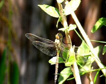 Dragonfly Green 2 Limited Edition Photo by DENISE SLOAN