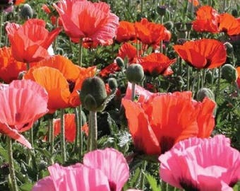 Poppy Pizzicato Perennial Flower Tissue paper blooms of delicate semi-dwarf mix of red scarlet, orange, salmon, mauve, rose, pink, and white