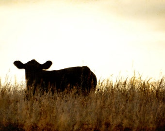 Cow in the sunset photography-animal cow photography-sunset -silhouette - 5 x 7 Original fine art photography prints - FREE Shipping