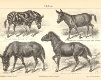 1904 Equus, Plains Zebra, Donkey, Mule, Tarpan Original Antique Engraving to Frame