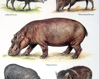 Mammals - Collared Peccary, Hippopotamus, White Lipped Peccary, Pygmy Hippopotamus - Vintage 1980s Animal Book Plate Page