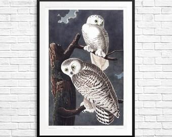 Snowy owls, snowy owl, snowy owl art, snowy owl posters, snowy owl prints, snow owls, Audubon owls, Audubon birds, Audubon society, birds