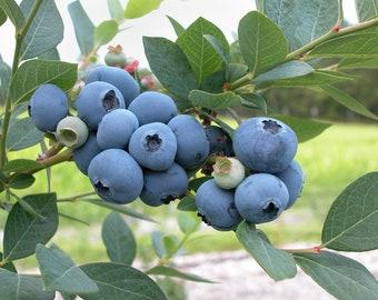 Blueberry 15 Seeds, Vaccinium Corymbosum