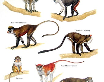 Monkeys - Vervet Monkey, Diana Monkey, Patas Monkey, Talapoin - Vintage 1984 Animal Book Plate