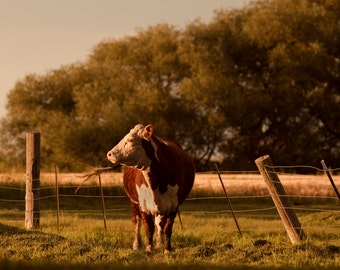Hereford Cattle Photograph, Red and White Cow Art, Farm Photography, Physical Print