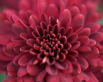 Fine Art Photography-Red Mum - Flower, Floral Print, Nature photography, Flower Photo, Wall Decor, Flower Wall Art, Macro Photography
