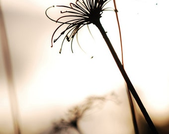 """Nature Photo 4"""" x 6"""" in 5"""" x 7"""" mat ~ Gone to Seed Sepia Toned Dandelion and/or Queen Anne's Lace ~ Matted and ready to frame"""