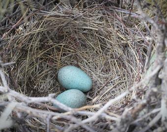 Bird's nest photo, blue eggs in nest, photo canvas or print, oversized print, earth tones, Arizona photo