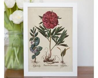 Vintage illustration of Red Peony - framed fine art print, flower art, home decor, kitchen art - FREE SHIPPING 93