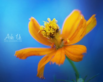 "Poster ""Harmony"" orange flower on blue background"