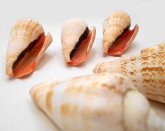 "6 Strawberry Strombus Shells Seashells 2"" Beautiful Beach Wedding Crafts Decor"
