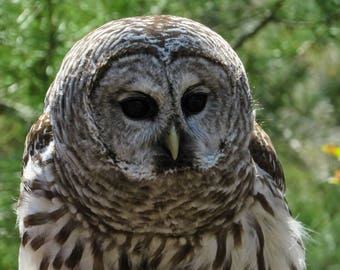 Barred Owl Limited edition photo print framed