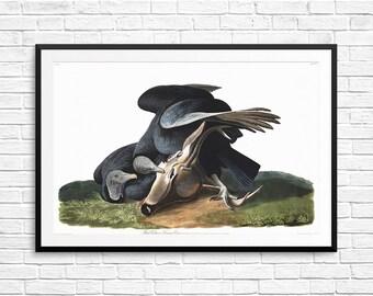 Black Vulture, Audubon prints, Audubon art, Audubon birds, Book of Birds, Book of American Birds, ornithology gifts, Audubon posters