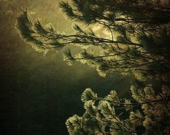 25% Memorial Day Sale pine tree fir sunlight nature photography fine art photography office decor home decor