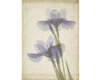Iris Poster, Vintage Inspired Botanical Print, 12 x 16 Iris Print, Cottage Chic Decor, Scanner Art,  Flower Photography, Sheer X-Ray