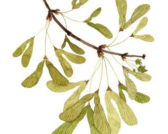 Geflügelte Ahorn Samen drucken, botanische Druck, pflanzlichen, Giclée Kunstdruck, Aquarell, Samara, Ahorn-Baum-illustration