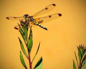 Dragonfly - Matted Print