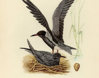 Vintage lithograph of the black tern from 1953