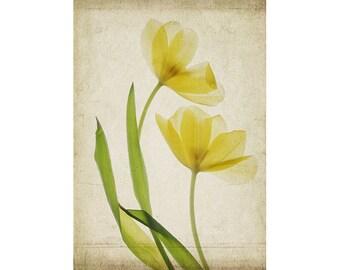 Tulip Flower Poster, 12 x 16 Botanical Print, Cottage Chic Decor, Scanner Art, Sheer X-Ray