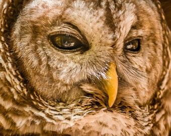 Barred Owl Closeup