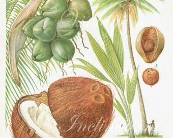 Coconut Fruit Chart Food Botanical Kitchen Illustration Palm Tree Tropical lithograph 19