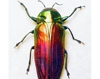 Real Rainbow Beetle Conservation Framed display Belionota 2214