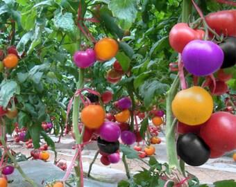 Semi di pomodoro arcobaleno