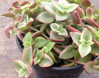 "This listing is for 2 succulent plants . Crassula Calico Kitten or Crassula Marginalis Rubra ""Variegata"" is a beautifully colored succulent."