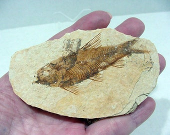 Fossil Fish in Limestone, Knightia eocaena from Kemmerer Wyoming, 50 Million Years Old  17T67