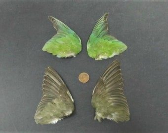 2 Pairs Lovebird Fanned Birds Wings Feathers Art Craft Taxidermy Shipping included