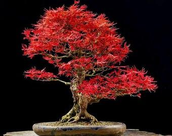 Acer palmatum Japanese Maple Small Leaf 20 + Viable Seeds