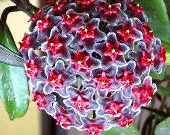 Hoya plant Pubicalyx Royal Hawaiian Purple, rarity! Very flowering and growing! Worldwide shipping + Flat fee!