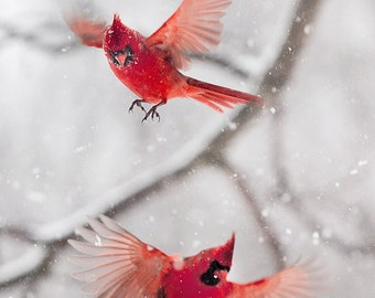 Bird photography, Cardinal, Red, Cardinal print, Holidays, Snow, Winter,Nature Photography, Bird print, Red and White, Birdfeet