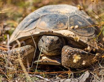 Gopher Tortoise photo