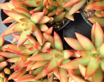 Succulent plant, Sedum Adolphii Firestorm. Great addition to any garden.