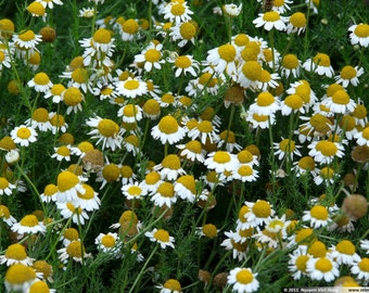 Roman Chamomile Essential Oil | Pure | Undiluted