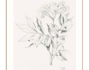 Elder Flower drawing PRINT - pencil drawing - botanical print of Elder blossom - Floral print wall art by Catalina