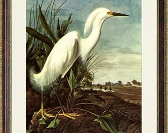 Snowy Heron Audubon Art Poster Print Framed 20x15