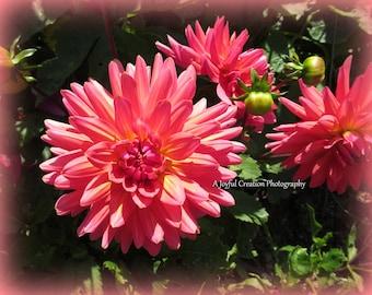 Dahlia- Flower - photograph - Dahlia photo - flower photo - Orange Dahlia - Dahlia Flower - Ft. Bragg - Mendocino Botanical - Pink Dahlia