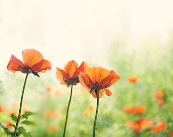 poppy photography / poppies, nature photography, botanical photography, flower, summer, orange, emerald green / three poppies / fine art