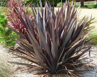 Phormium Purpureum Ornamental Grass Seeds (New Zealand Flax) 10+Seeds