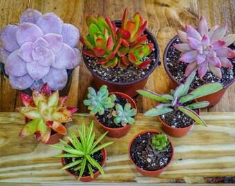 Succulent Assortment, Variety Pack