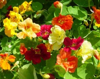 Gourmet Salad Mix Nasturtium Heirloom Herb Seeds Edible Flower Non-GMO Naturally Grown Open Pollinated Gardening