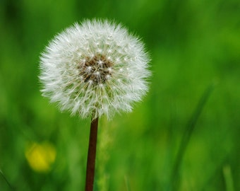 Dandelion - Nature Photography - Dandelion Wishes - Fine Art Photograph by Kelly Warren