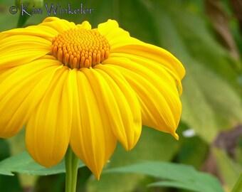 Yellow Sunflower 8x10 Fine Art Photograph