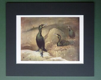 1930s Vintage Green Cormorant Print - Bird Decor - Nature Gift - Ornithology Art - Bird Watching - Shag Art - Bird Print - Natural History
